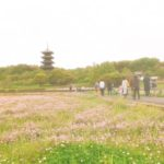 吉備路のれんげが見頃!五重塔が際立つ可愛い赤紫色のじゅうたんの中を散策