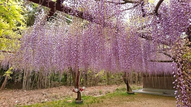岡山初夏の名所、日本一種類の多い和気の藤公園と日本最長クラス渋川の藤棚