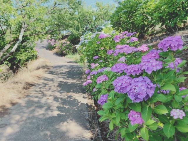 岡山県倉敷市 種松山公園西園地の紫陽花がすごい☆13000株の見頃に溜息必至!