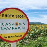 岡山おでかけ 笠岡ベイファームのひまわり畑が見頃!今年は背が高く花がでかい!